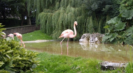 Sept 1 - Dudley Zoo Flamingo